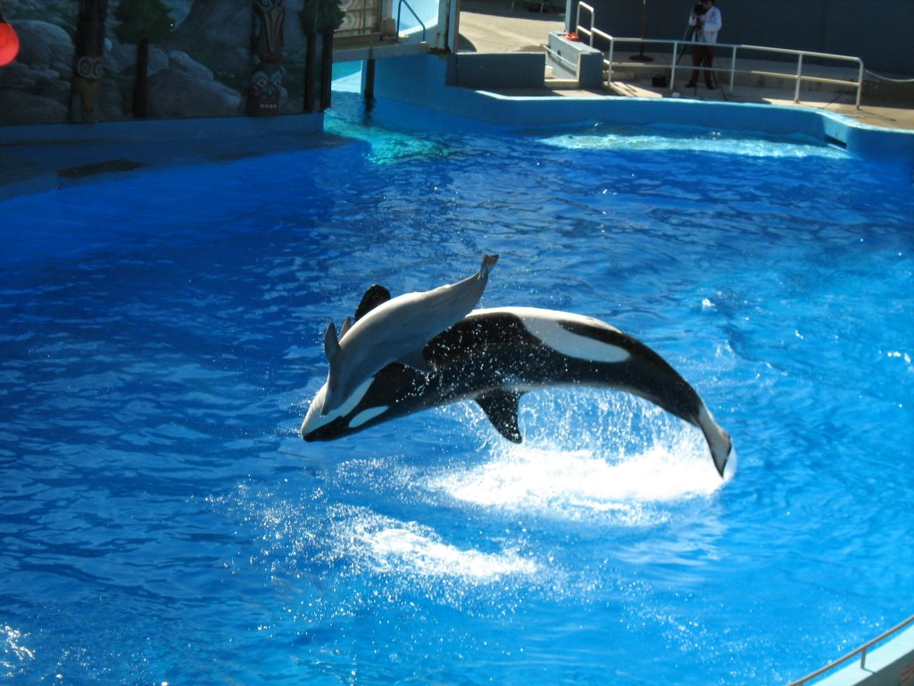 Killer Whale Pictures HD Wallpapers Hd Wallpapers 1024x768