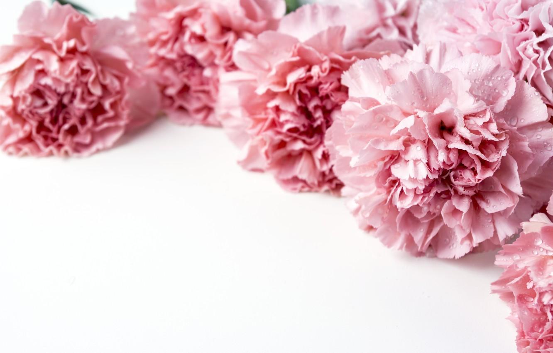 Wallpaper flowers petals pink pink flowers beautiful clove 1332x850