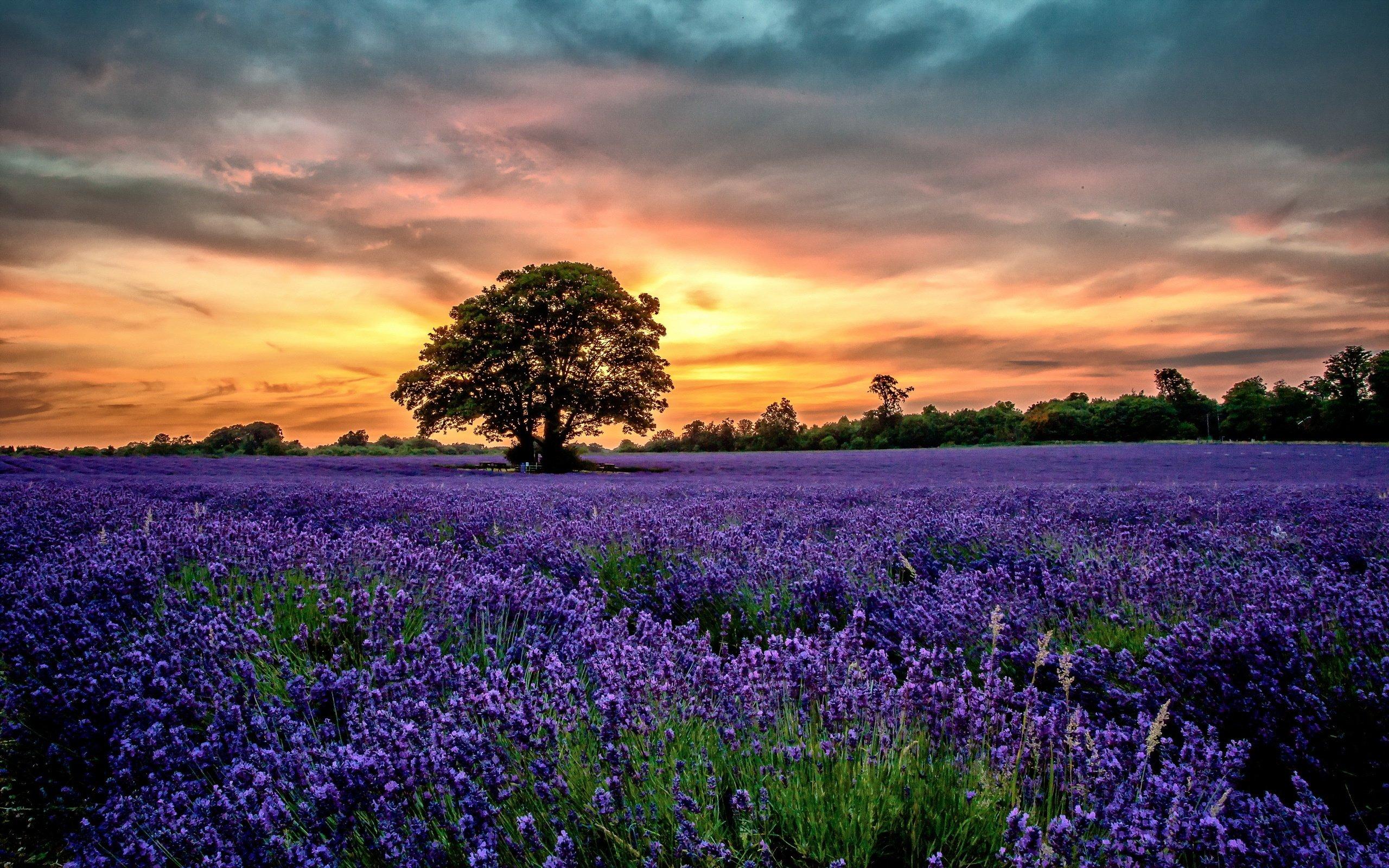 Flowers sunset field lavender scenery wallpaper 2560x1600 356134 2560x1600