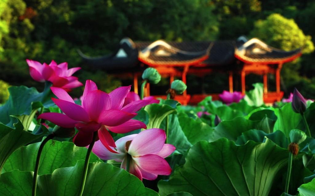Lotus Garden Desktop   beautiful hd wallpapers   Lotus Garden Desktop 1024x640