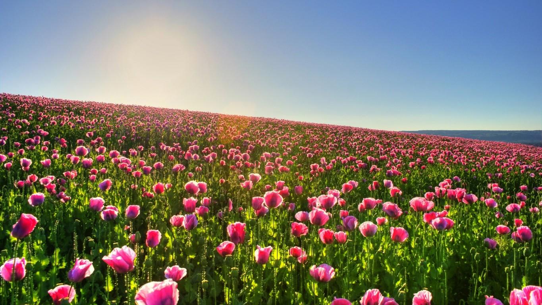 поле цветы рассвет field flowers dawn  № 3837107 загрузить