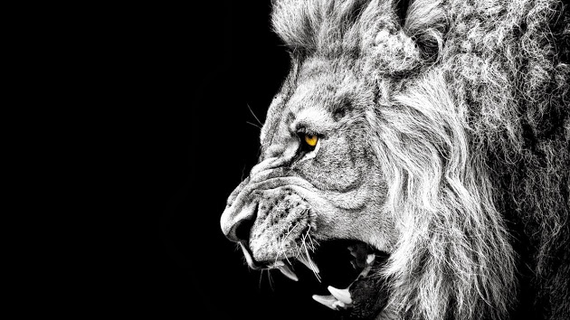 black and white lion wallpaper wallpapersafari