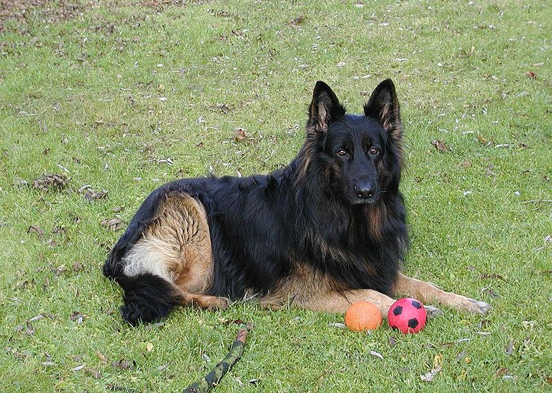 irislancery German Shepherd Dog Wallpaper 800x570