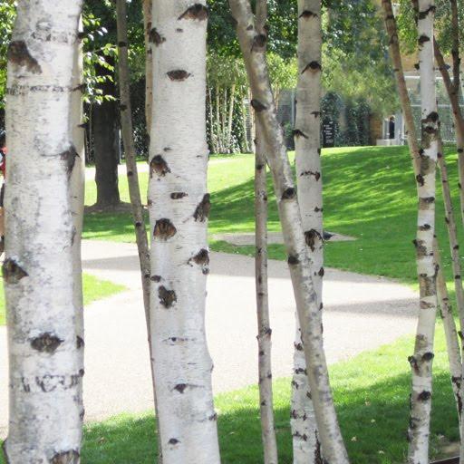 birch tree inspiration 512x512