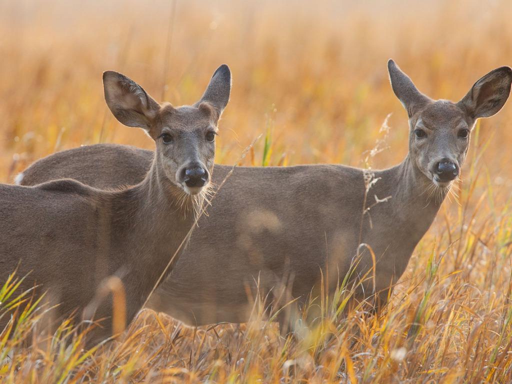 Beautiful Wallpapers deer wallpaper 1024x768