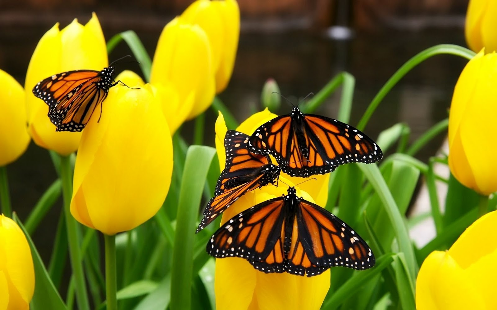 Funny Pictures Gallery Monarch butterfly wallpaper 1600x1000