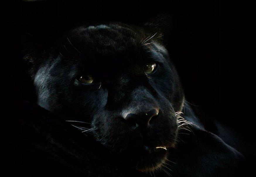 Black Panther Blue Eyes Wallpaper Wallpapersafari