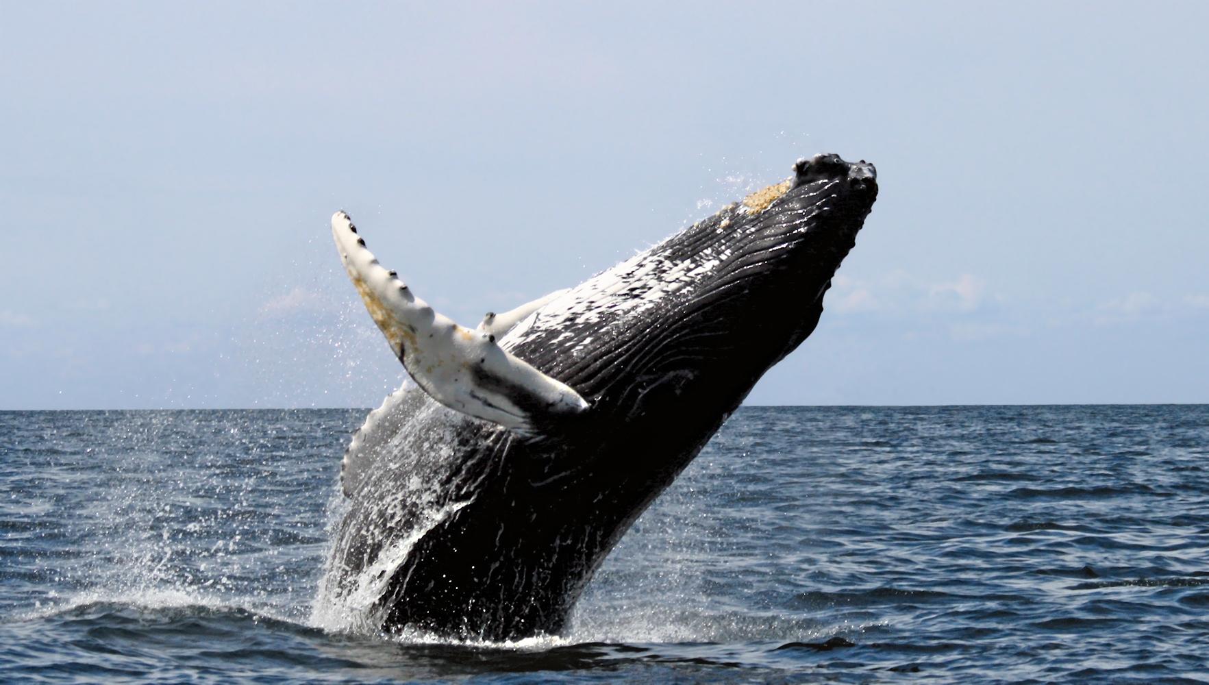Humpback Stellwagen Whales Wallpapers Desktop HD Whales Humpback Hd 1765x1000