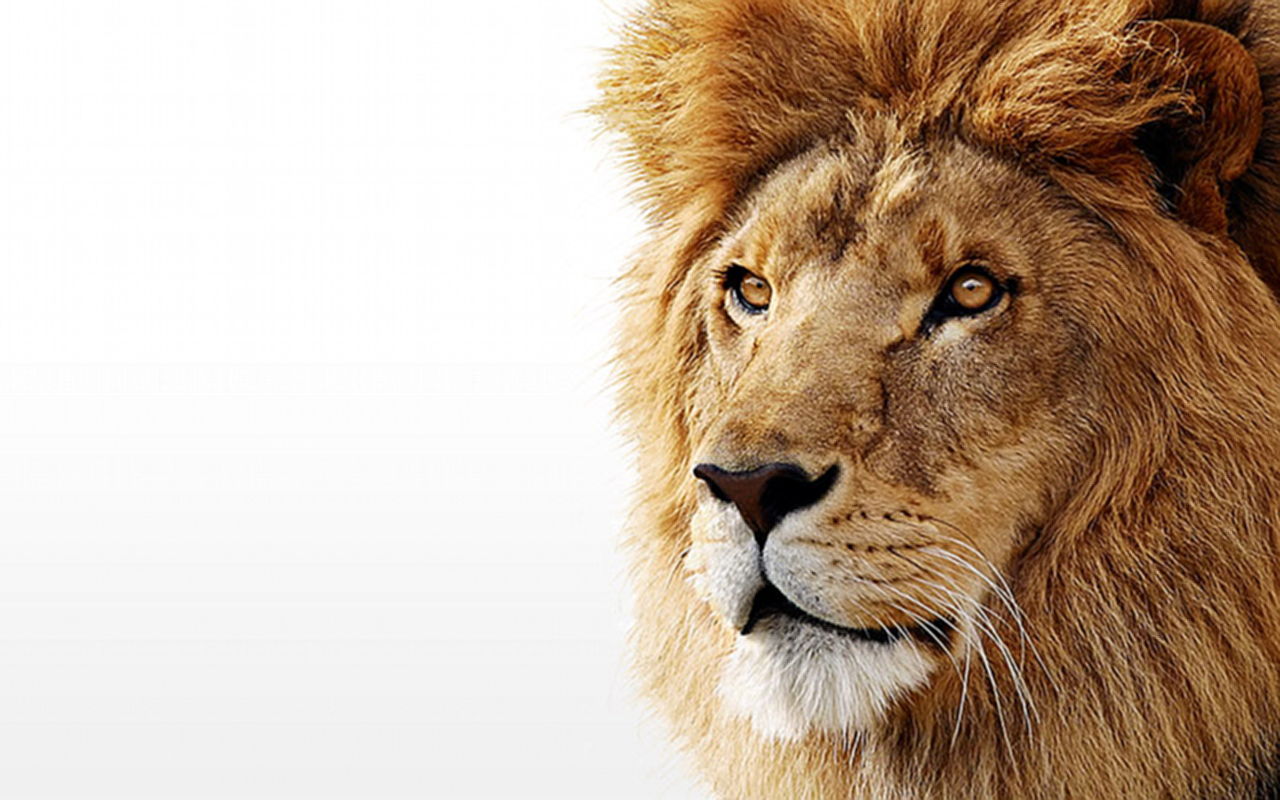 Lion Photo Wallpapers For Desktop Lions Wallpaper On White 1280x800