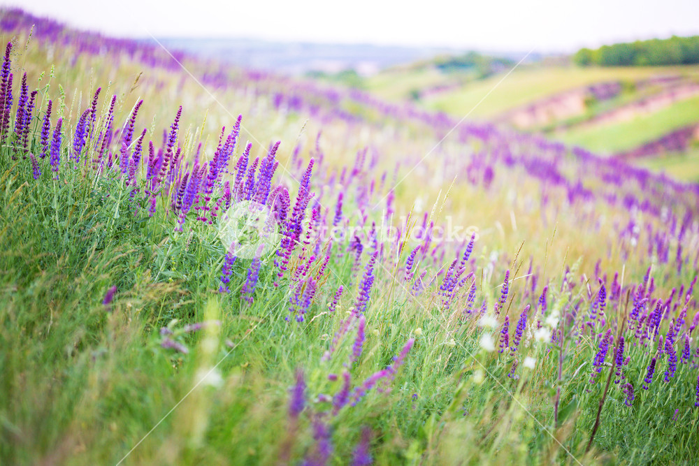 salvia growing in a field background Royalty  Stock Image 1000x667