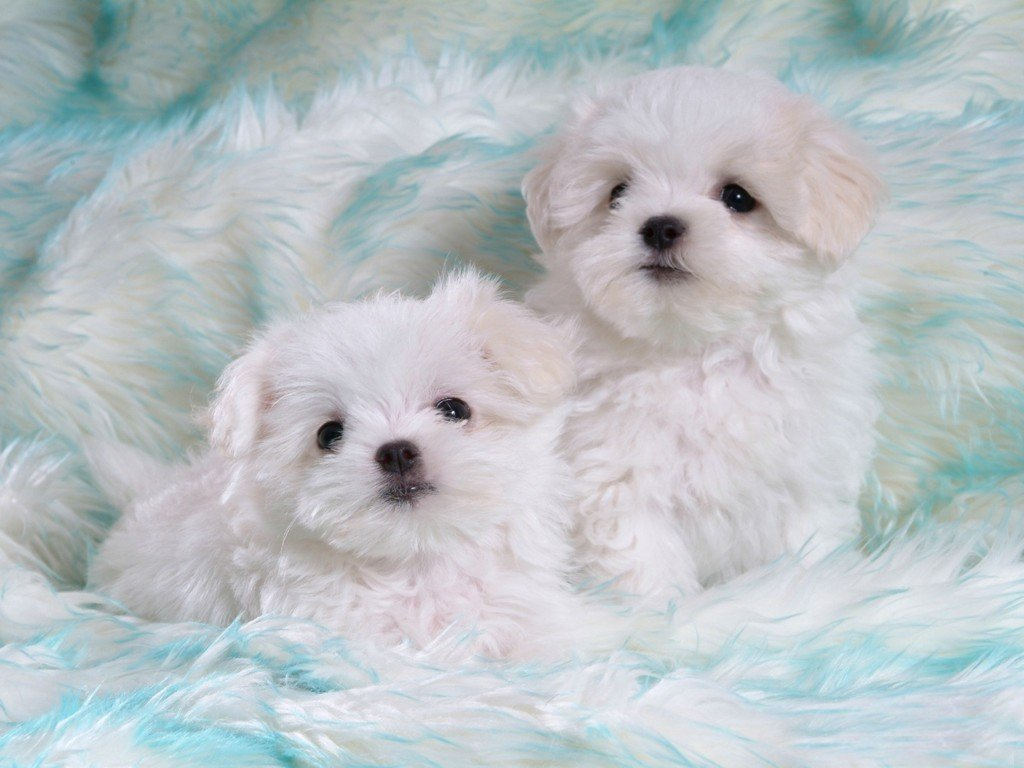 Latest Wallpapers cute white puppies 1024x768