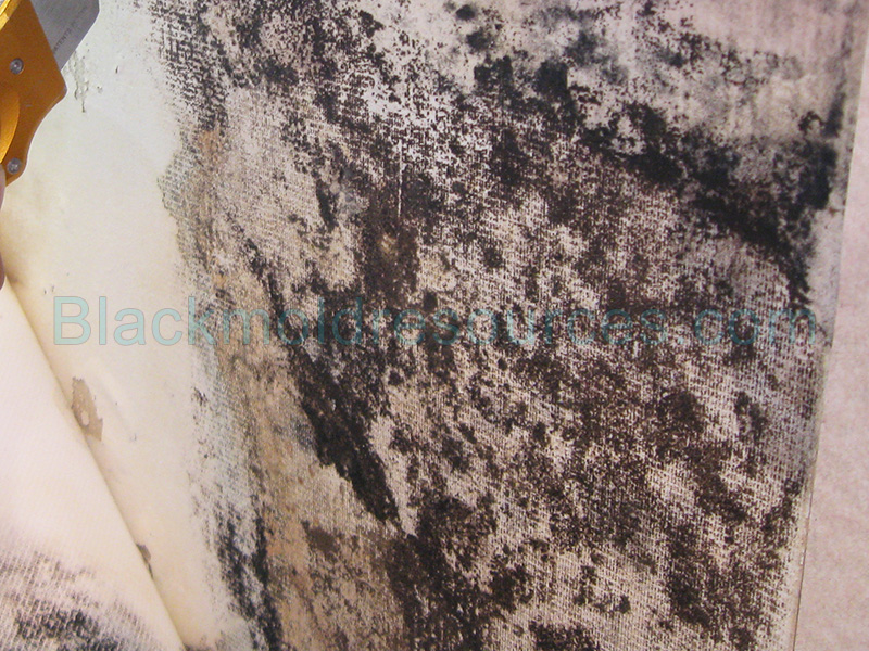mold growing behind wallpaperjpg] 1211 0 Black mold growing behind 800x600