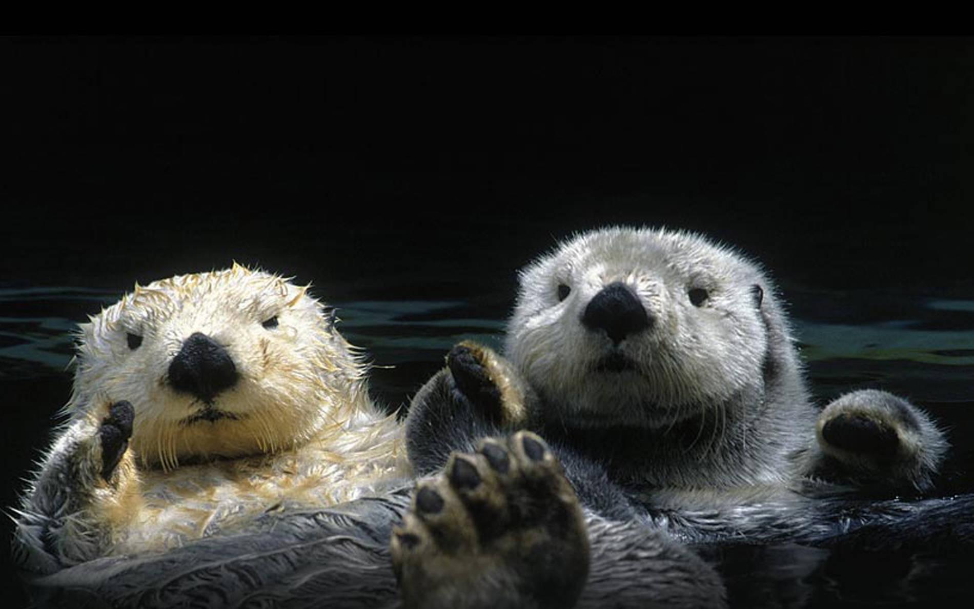 Animals Otters 19001188 Wallpaper 869162 1900x1188
