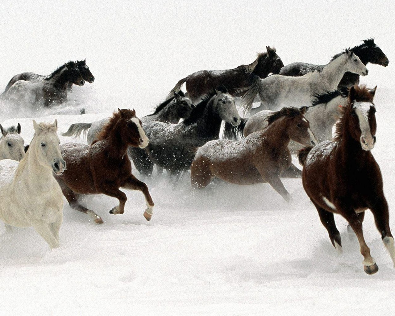 Beautiful Horses In Different Colors Running In The Snow 1280x1024