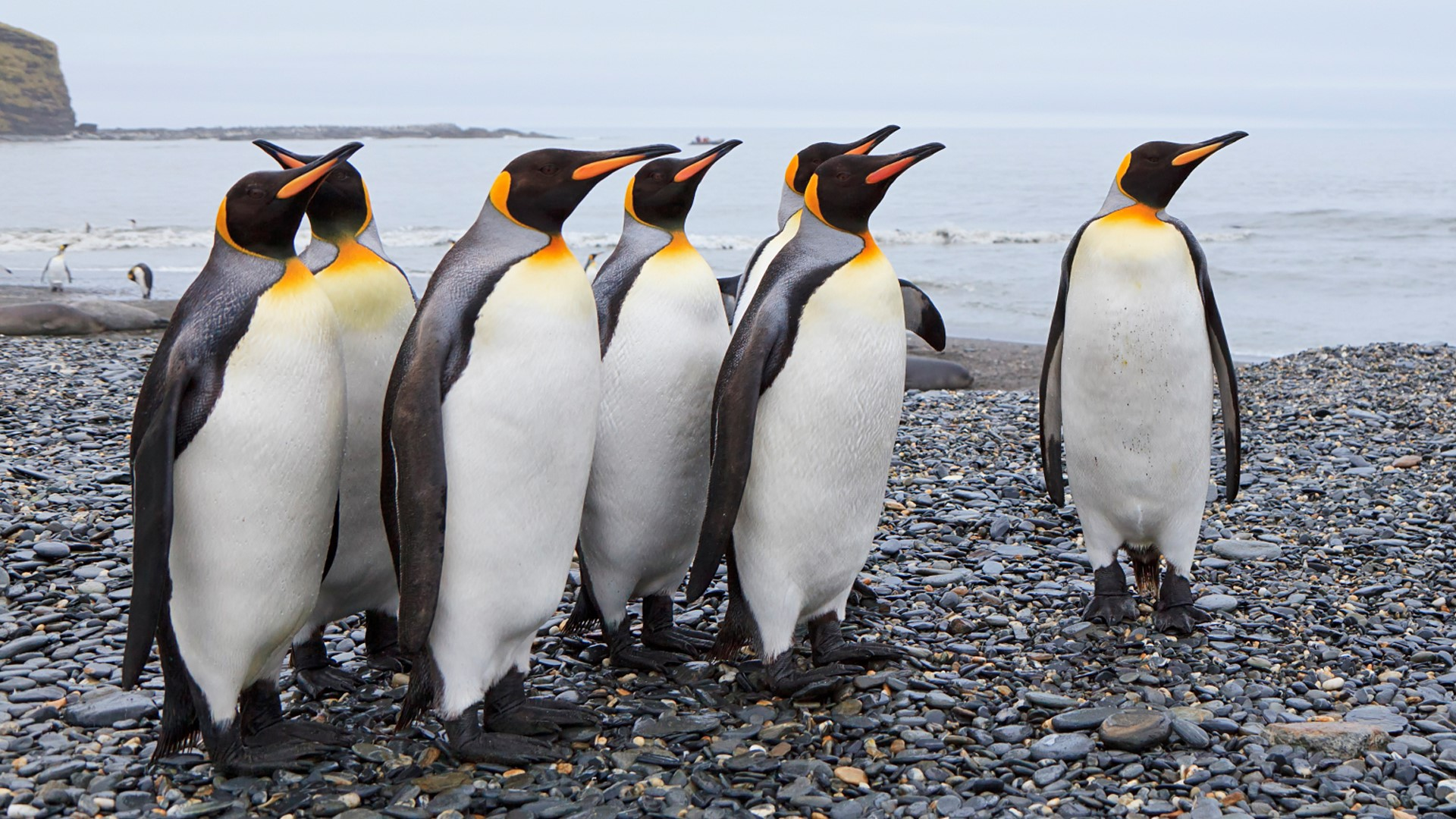download King penguins at St Andrews Bay South Georgia Island 1920x1080