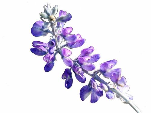 Lupine flower purple blue white background lupine 4484erase001 500x375