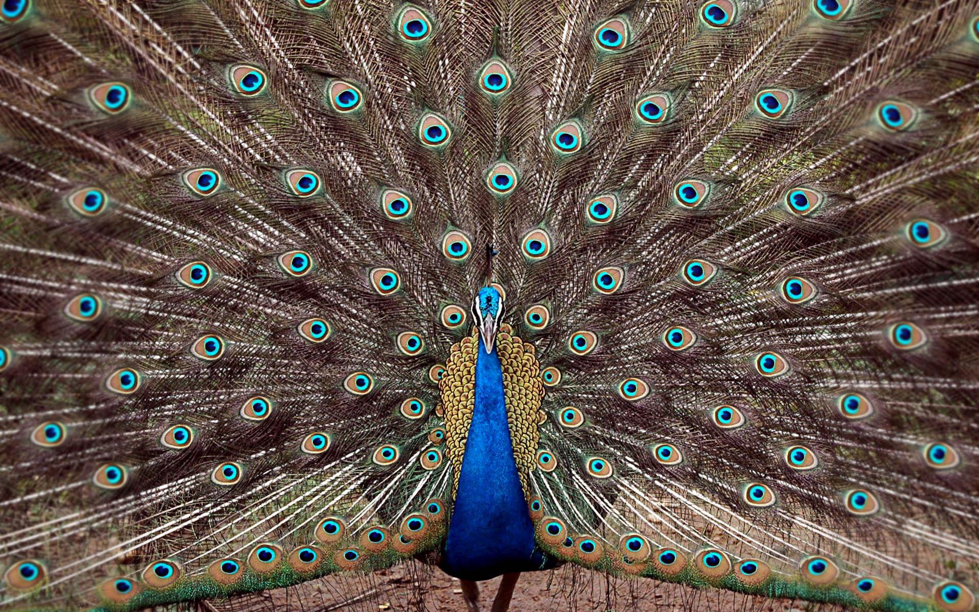 India India   Birds   Peacock 1920x1200