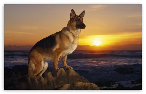 Day At The Beach German Shepherd HD wallpaper for Standard 43 54 510x330