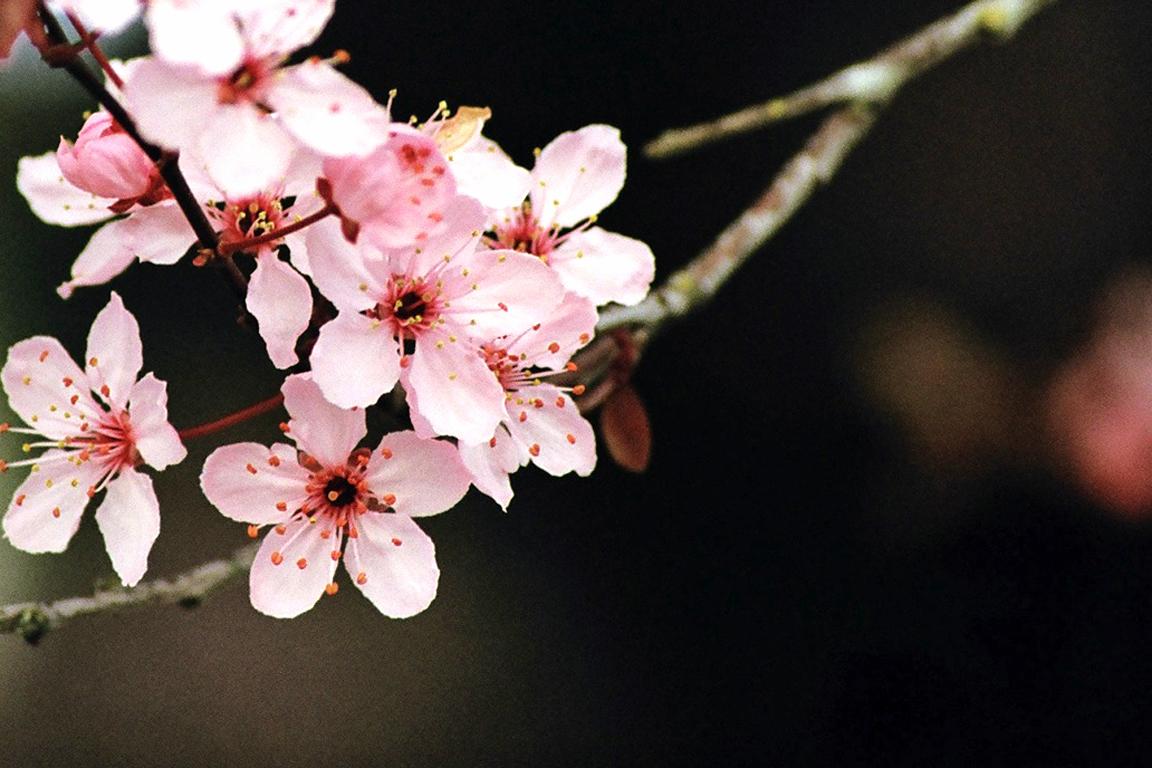 Cherry Blossom Wallpaper by SchrodingersCat19 1152x768