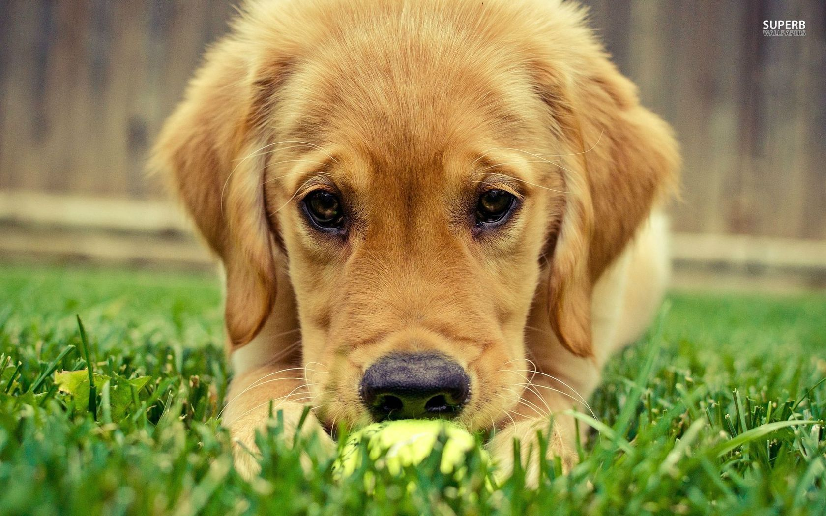 dogs similar to golden retriever golden retriever easter wallpaper wallpapersafari 5026