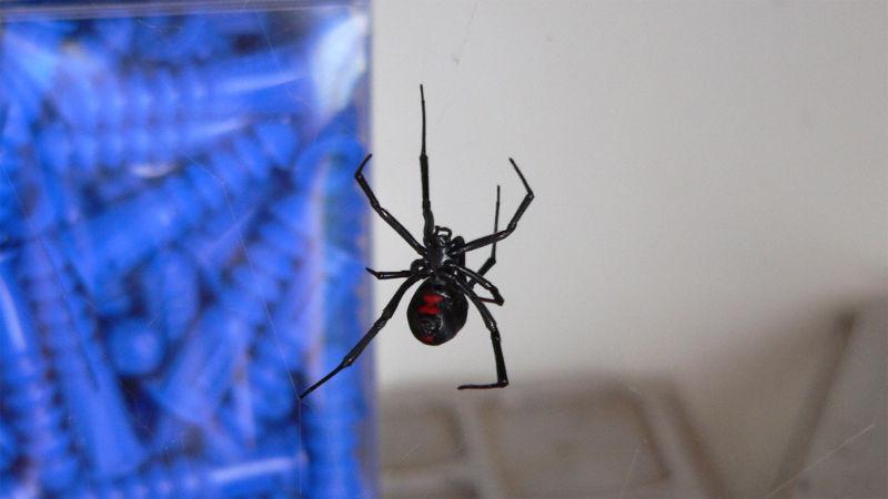 Black Widow Spider wallpaper 800x450