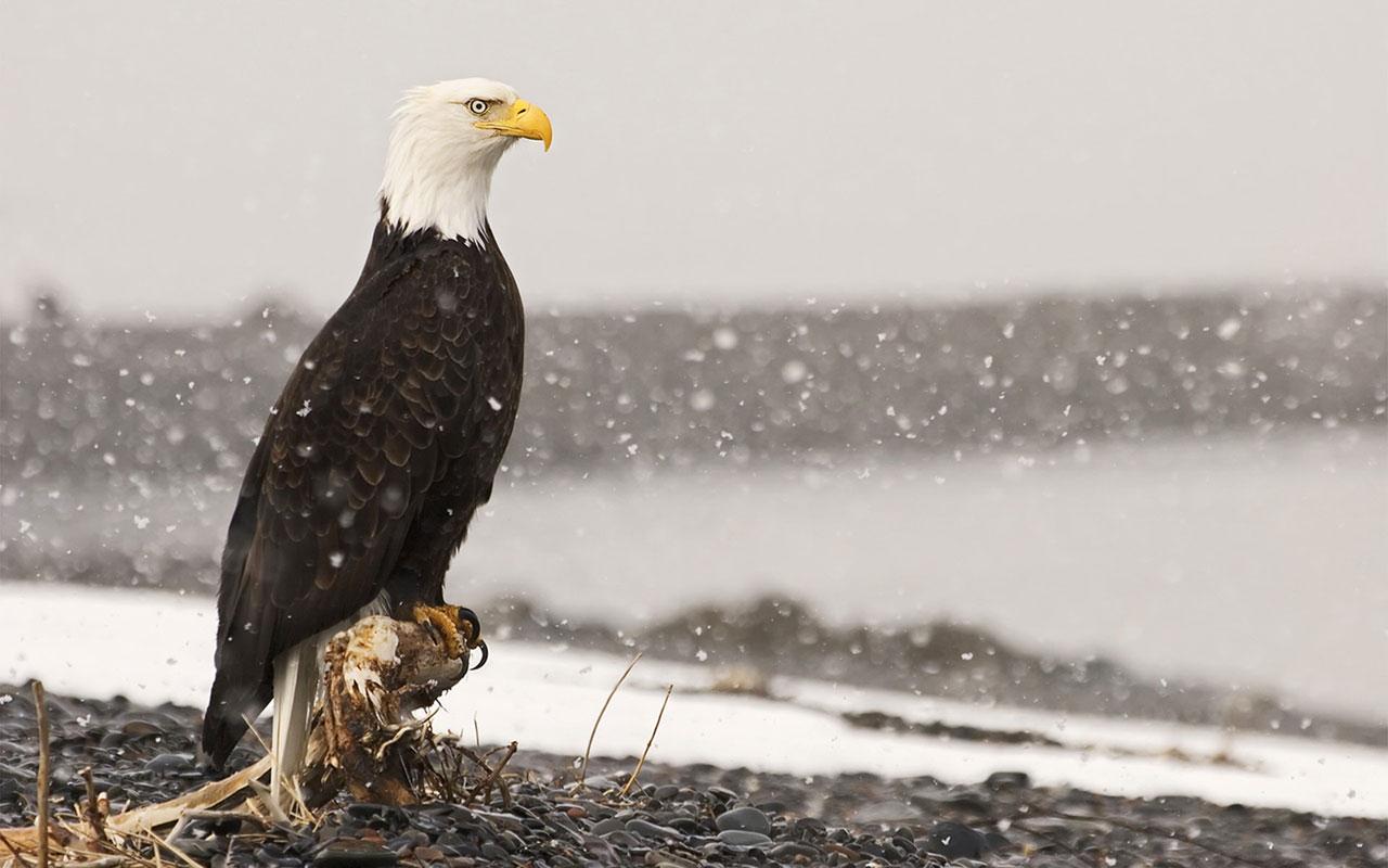 Bald Eagle HD Wallpapers 2012 1280x800