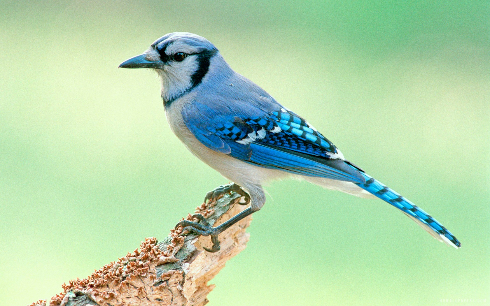 Blue Jay Bird HD Wallpaper   iHD Wallpapers 1680x1050