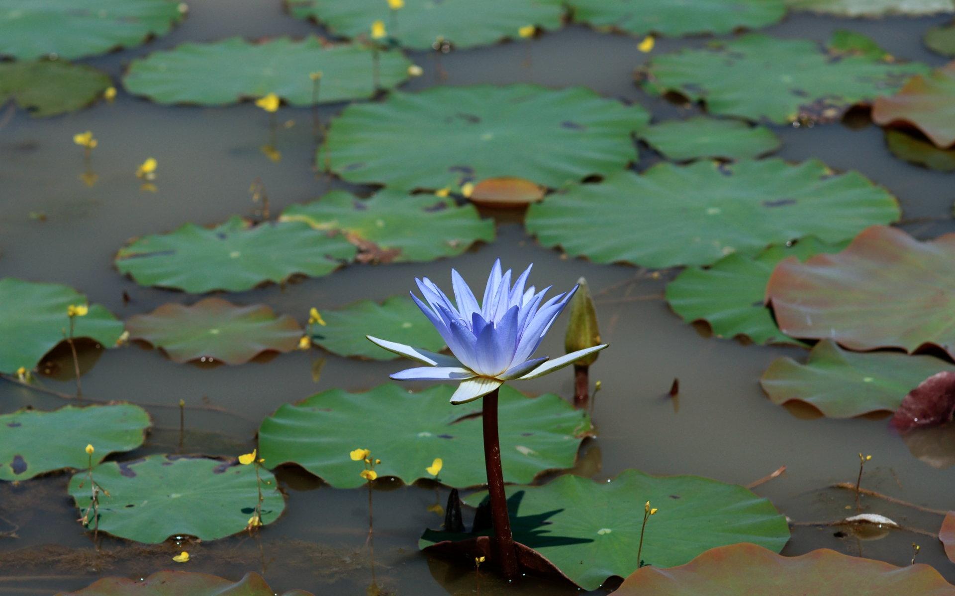 Water Lotus Wallpaper Wallpapersafari