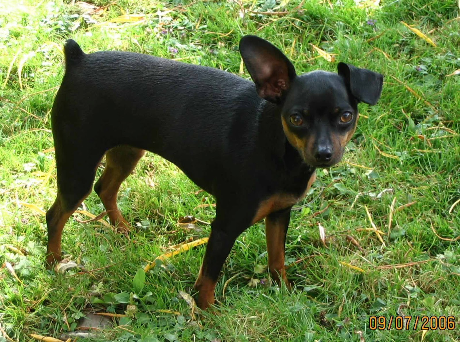 Wallpaper Miniature Pinscher Wallpapers 1600x1191