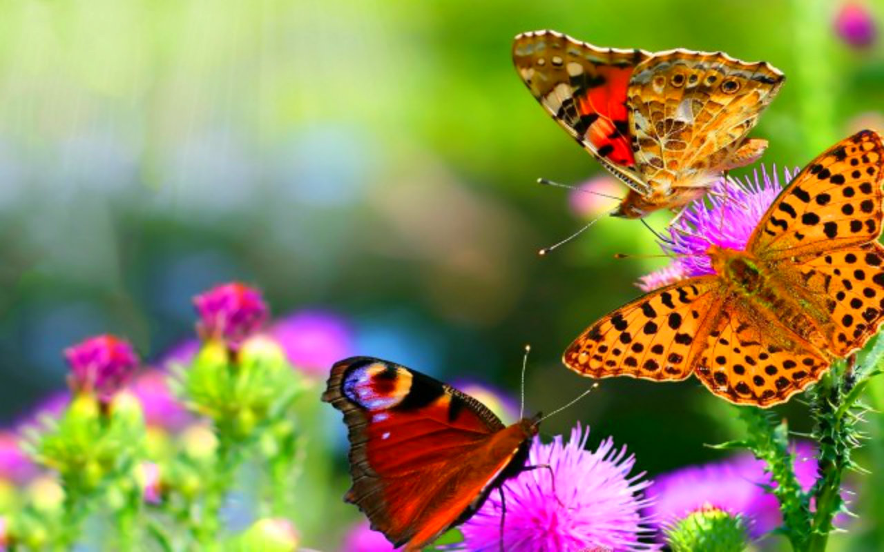 Colorful Butterflies Photo 9   BestePics 1280x800