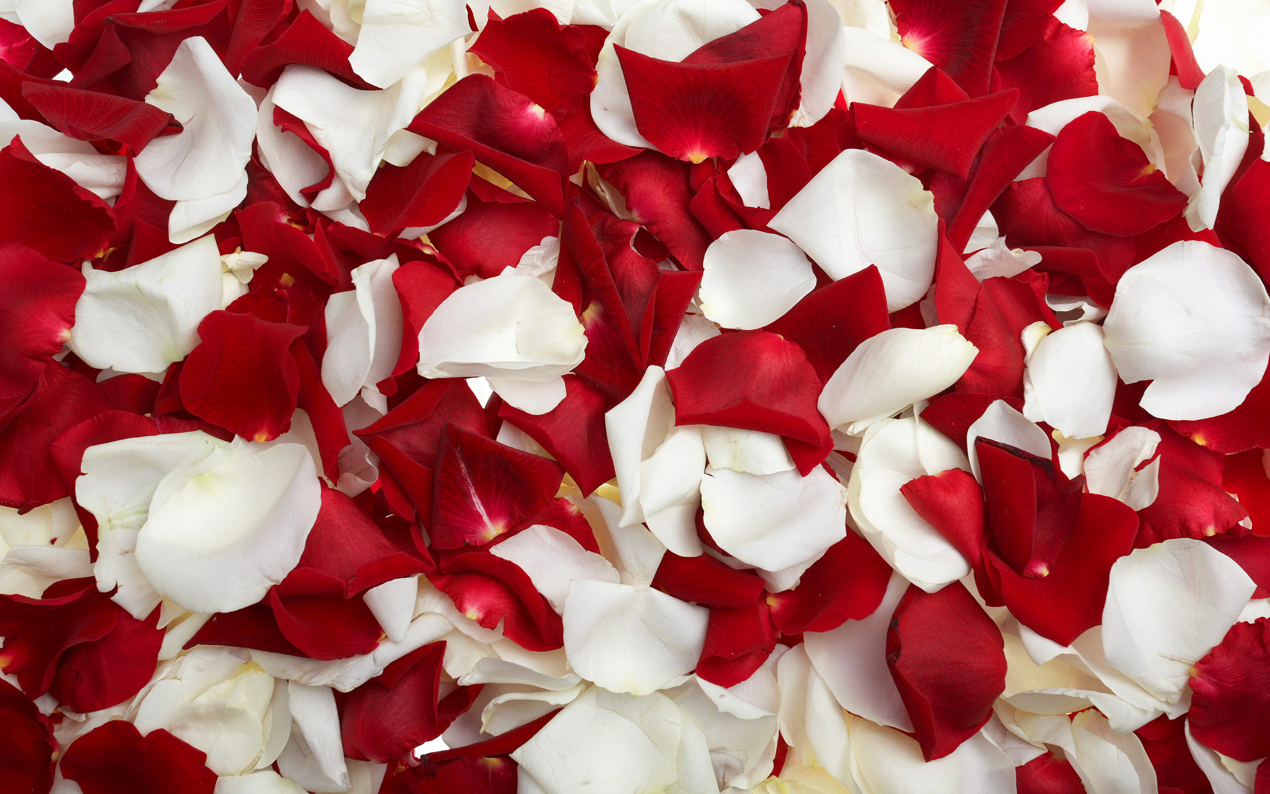 Flowers Rose Petals Wallpapers HD Pictures One HD Wallpaper 2560x1600