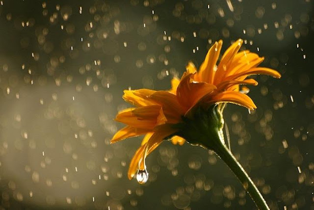 Beautiful Picture and wallpaper of Flower in Rain Rain and Flowers 640x428