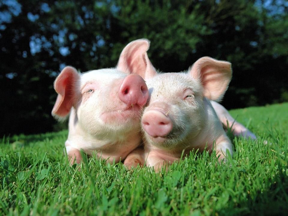 Pigs value their freedom and seek companionship I need another 960x720