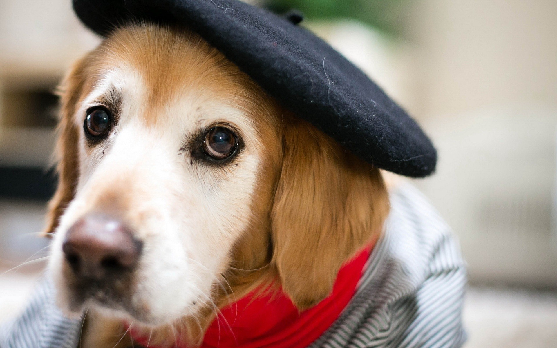Beautiful Dog with Cap HD Wallpaper HD Famous Wallpapers 1920x1200