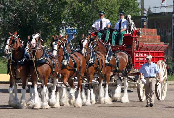 46 budweiser clydesdales wallpaper on wallpapersafari - Budweiser beer pictures ...