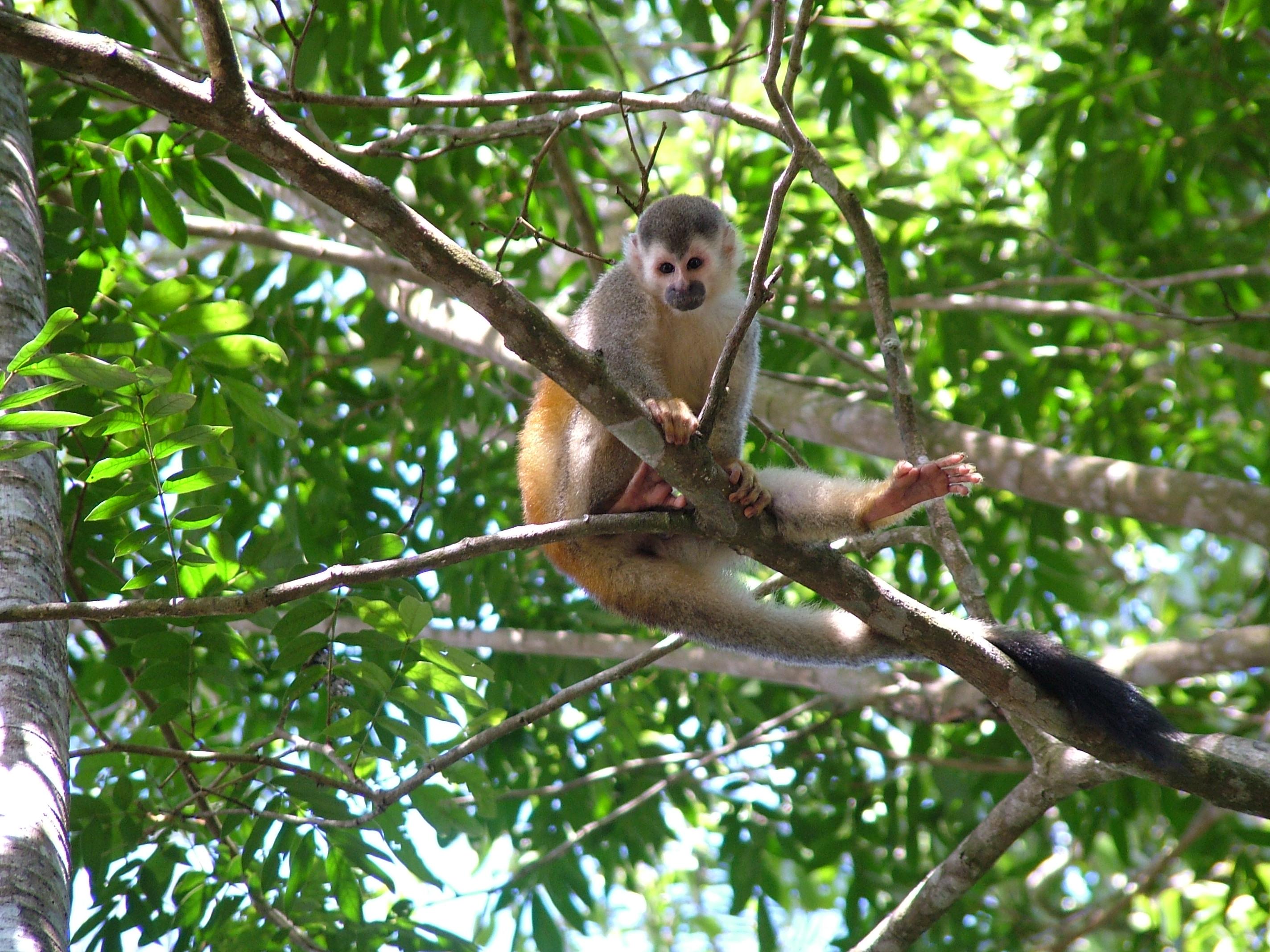 wallpaper Computer wallpaper wild monkey posing in costa rica 2848x2136