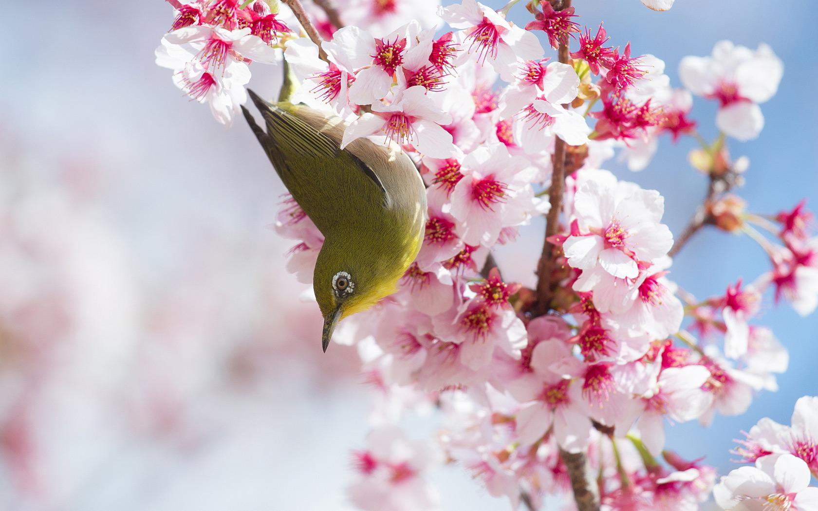 Pics Photos   Cherry Blossom Desktop Background Cherry 1680x1050