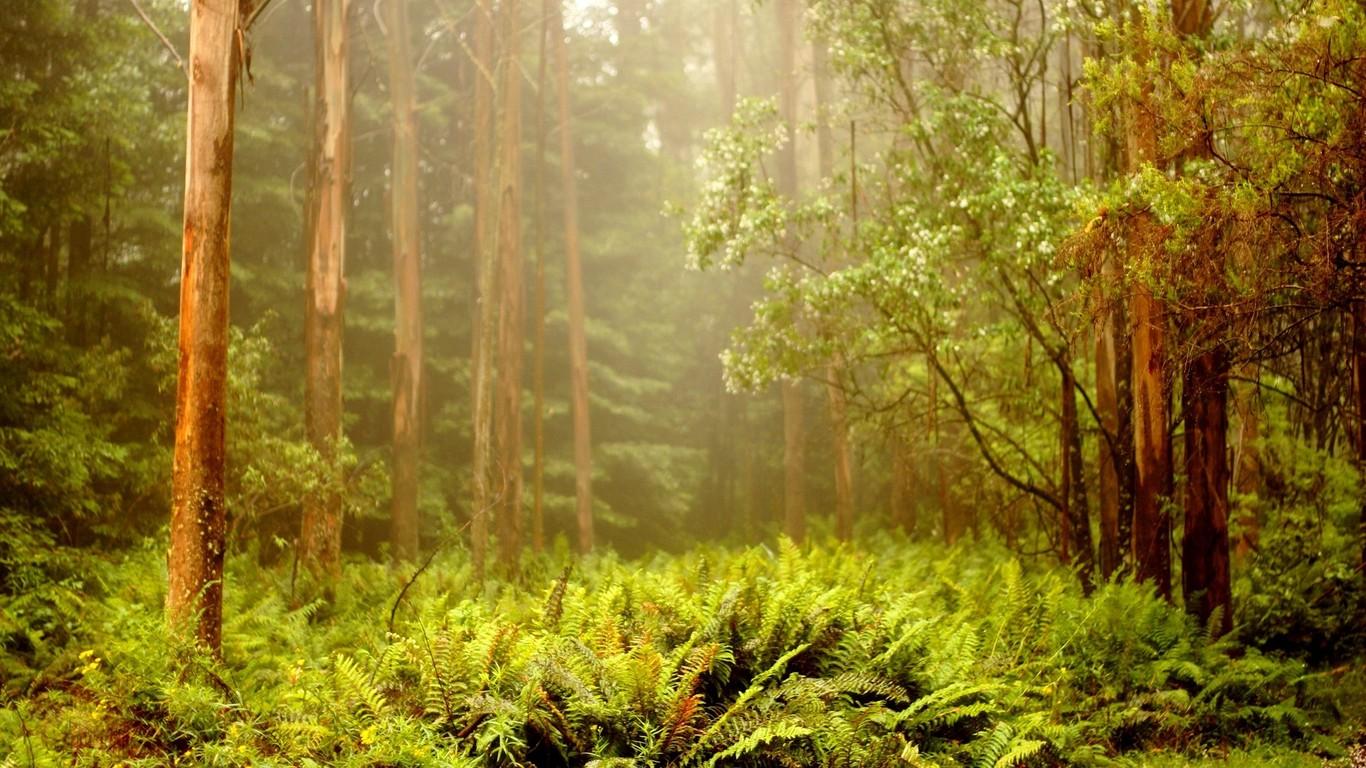Foggy forest wallpaper 8382 1366x768
