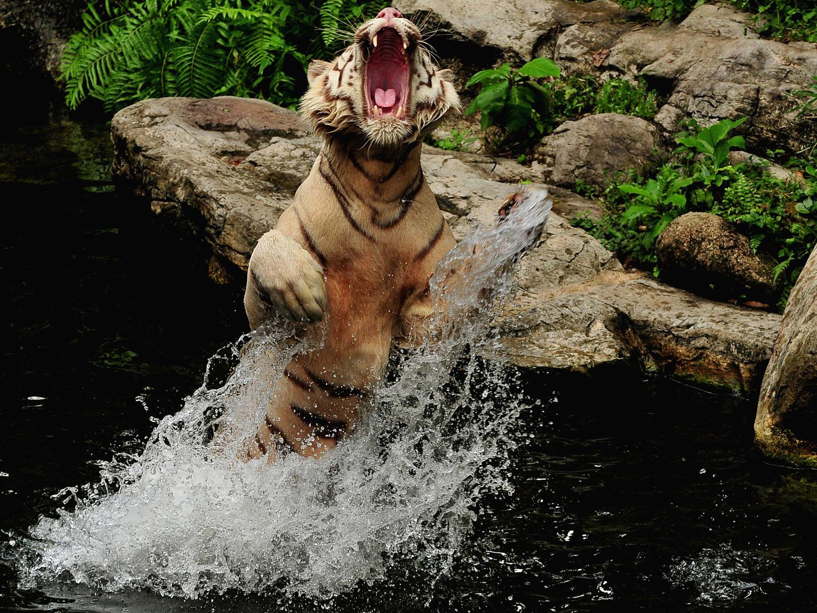 Tiger In Water Wallpaper Wallpapersafari