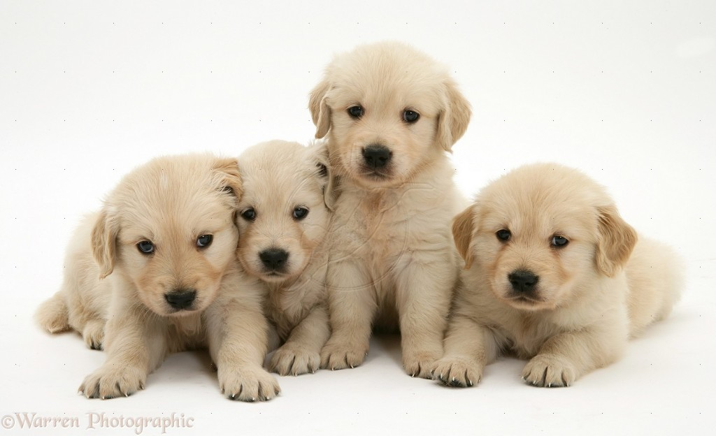 49 cute golden retriever puppies wallpaper on - Cute golden retriever wallpaper ...
