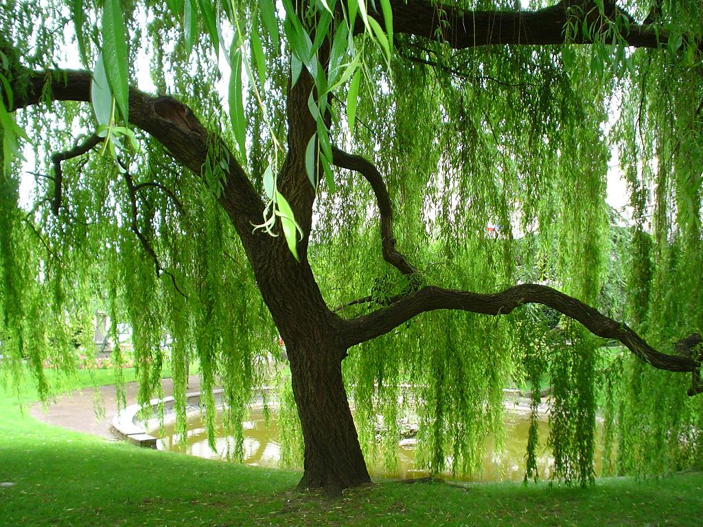 weeping willow Romantic Trees Pinterest 1024x768