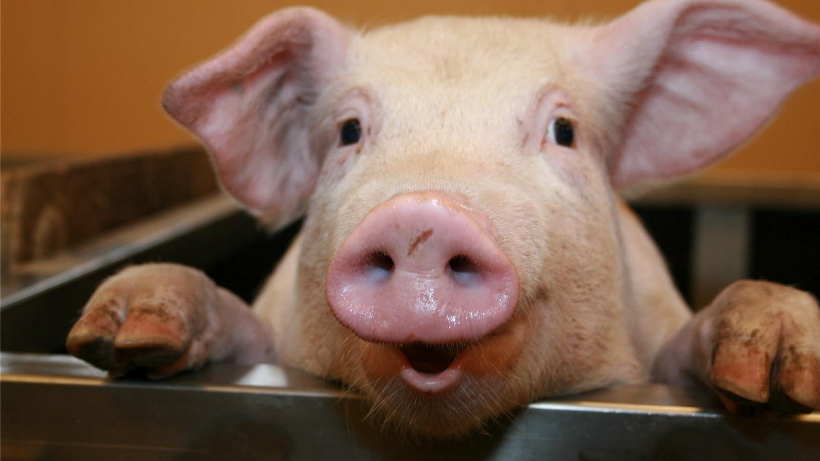 Pigs Wallpaper 1600x900