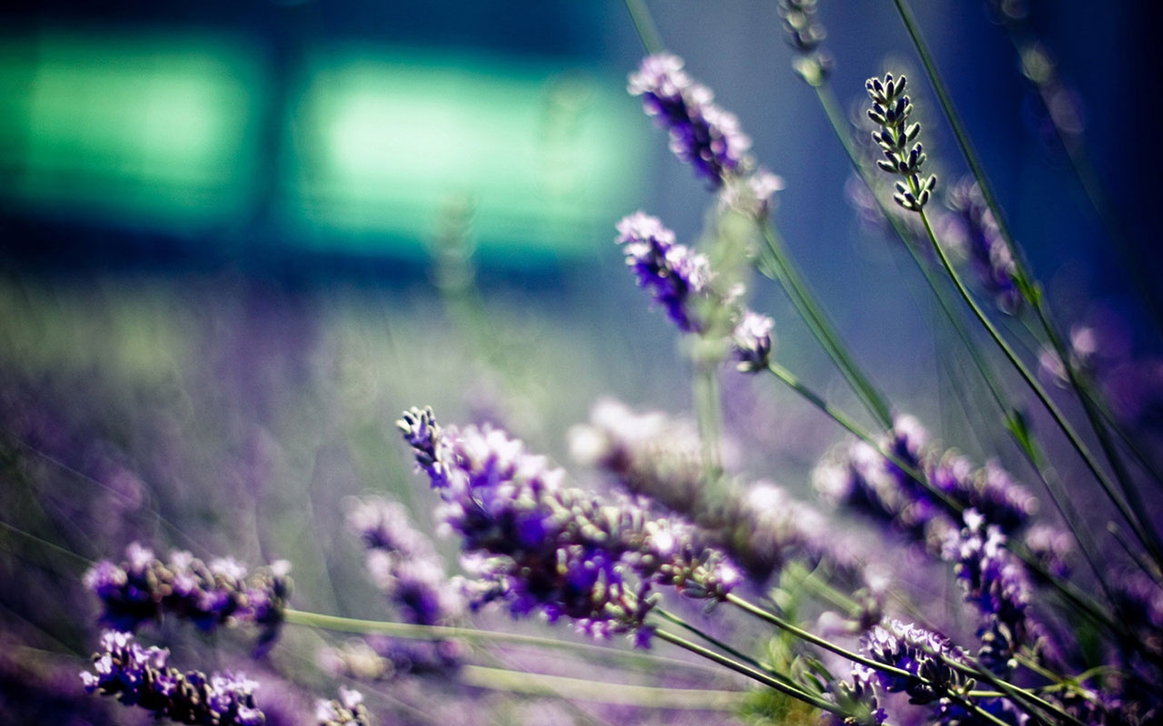 flower wallpapers purple lavender wallpaper purple lavender wallpaper 1280x800
