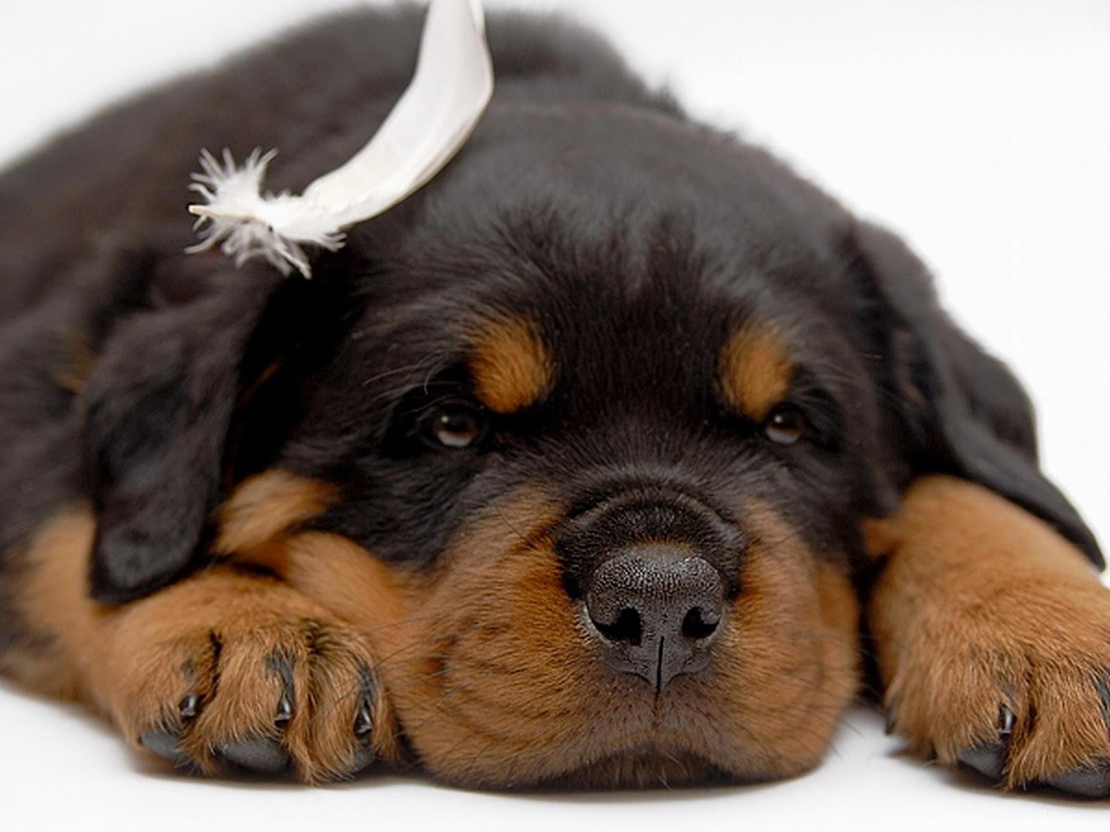 Rottweiler Puppy Wallpaper Wallpapersafari