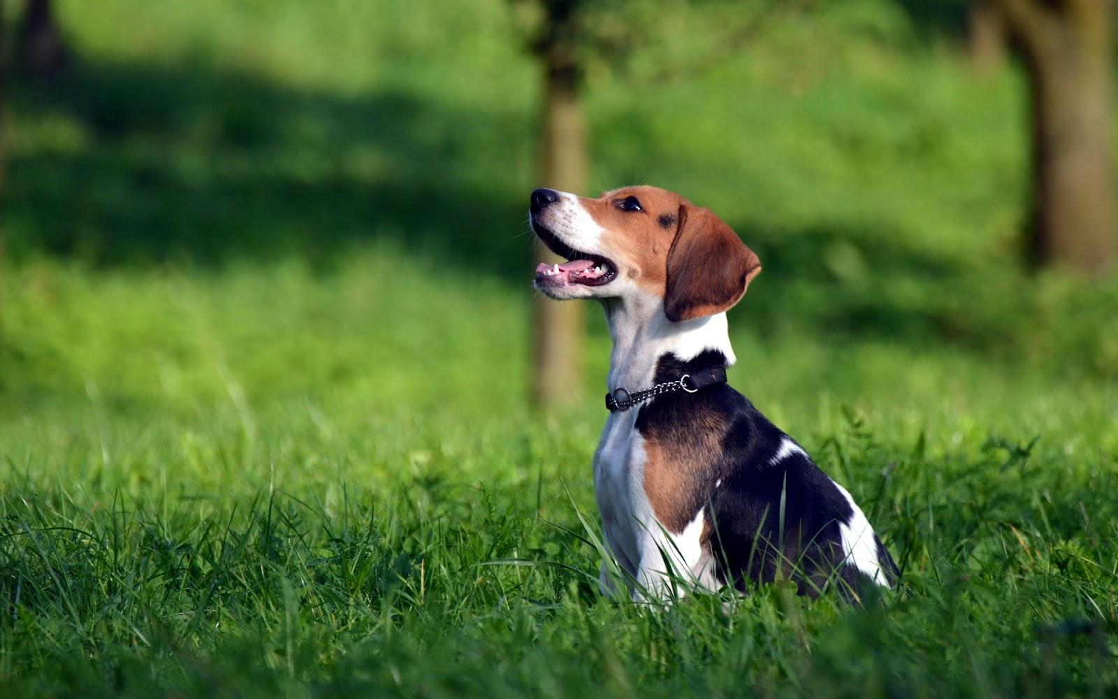 Perros Beagle en el Campo Fotos e Imgenes en FOTOBLOG X 1600x1000