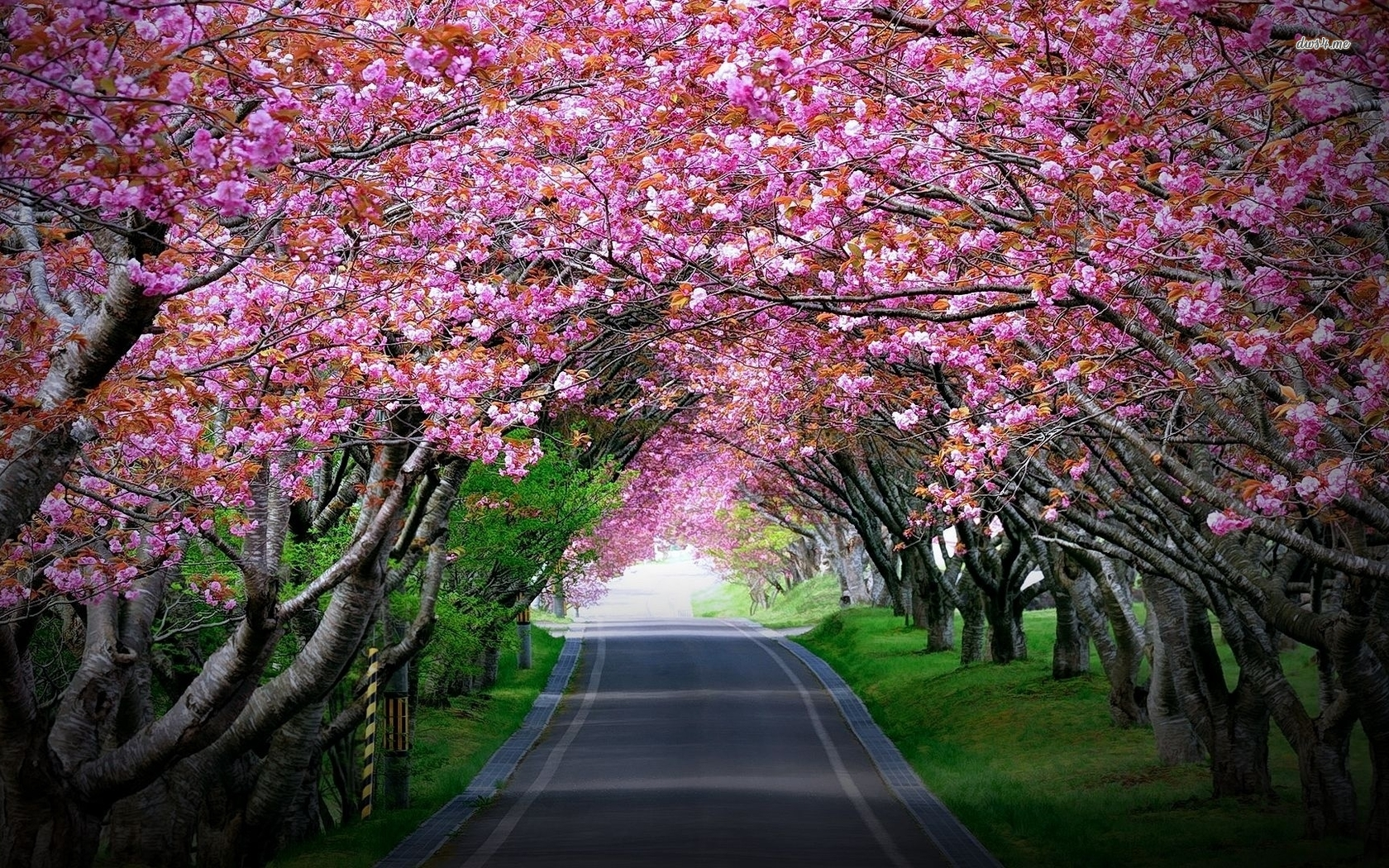 Cherry Blossom Tree Wallpaper - WallpaperSafari