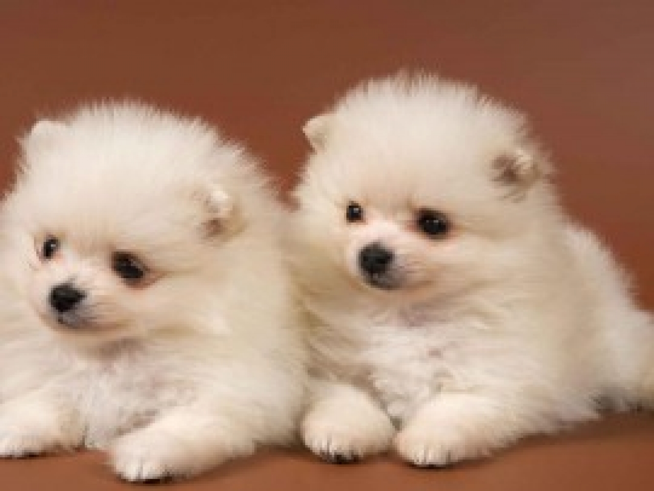 Cute Puppies HD Wallpapers 1280x962