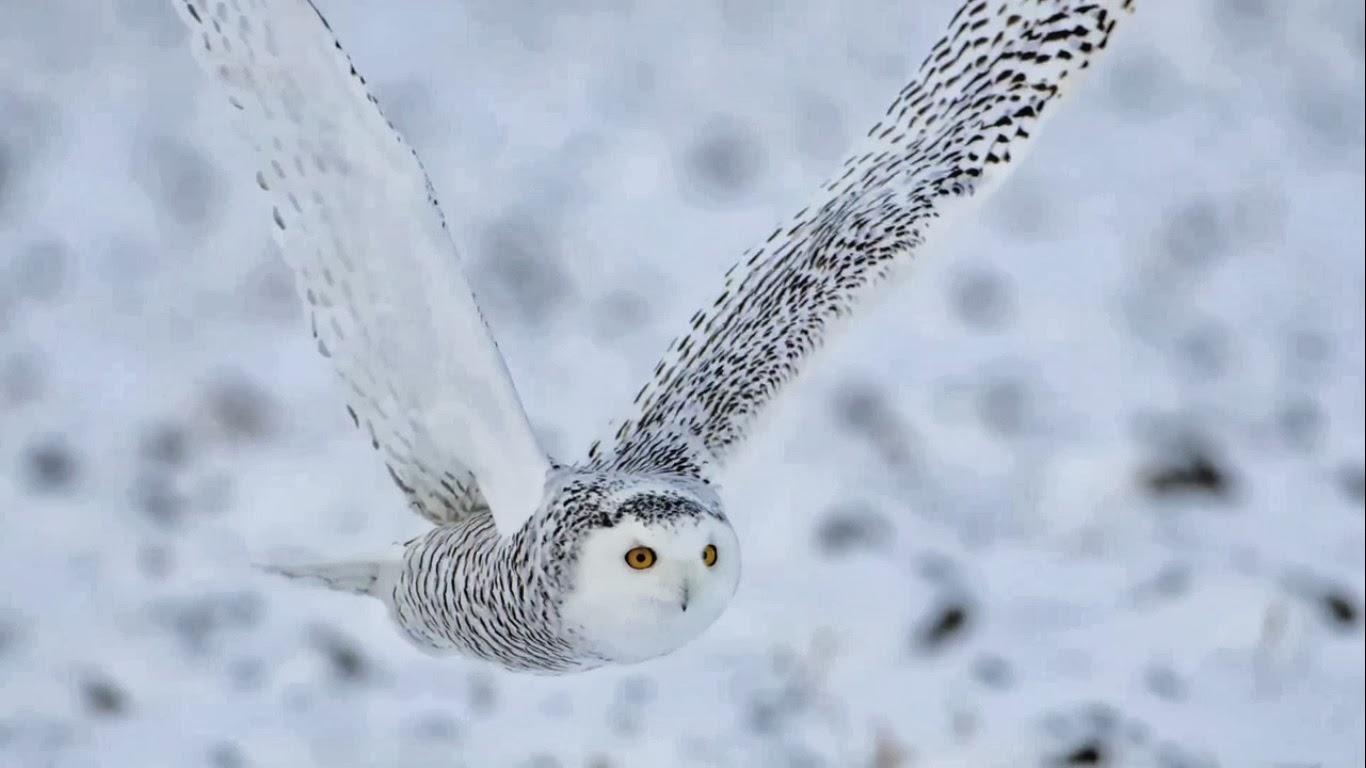 Snowy Owl wild life birds amazing hd wallpaper 1080p 44 world in hd 1366x768