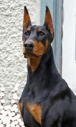 warlock doberman pinscher 18 - photo #43