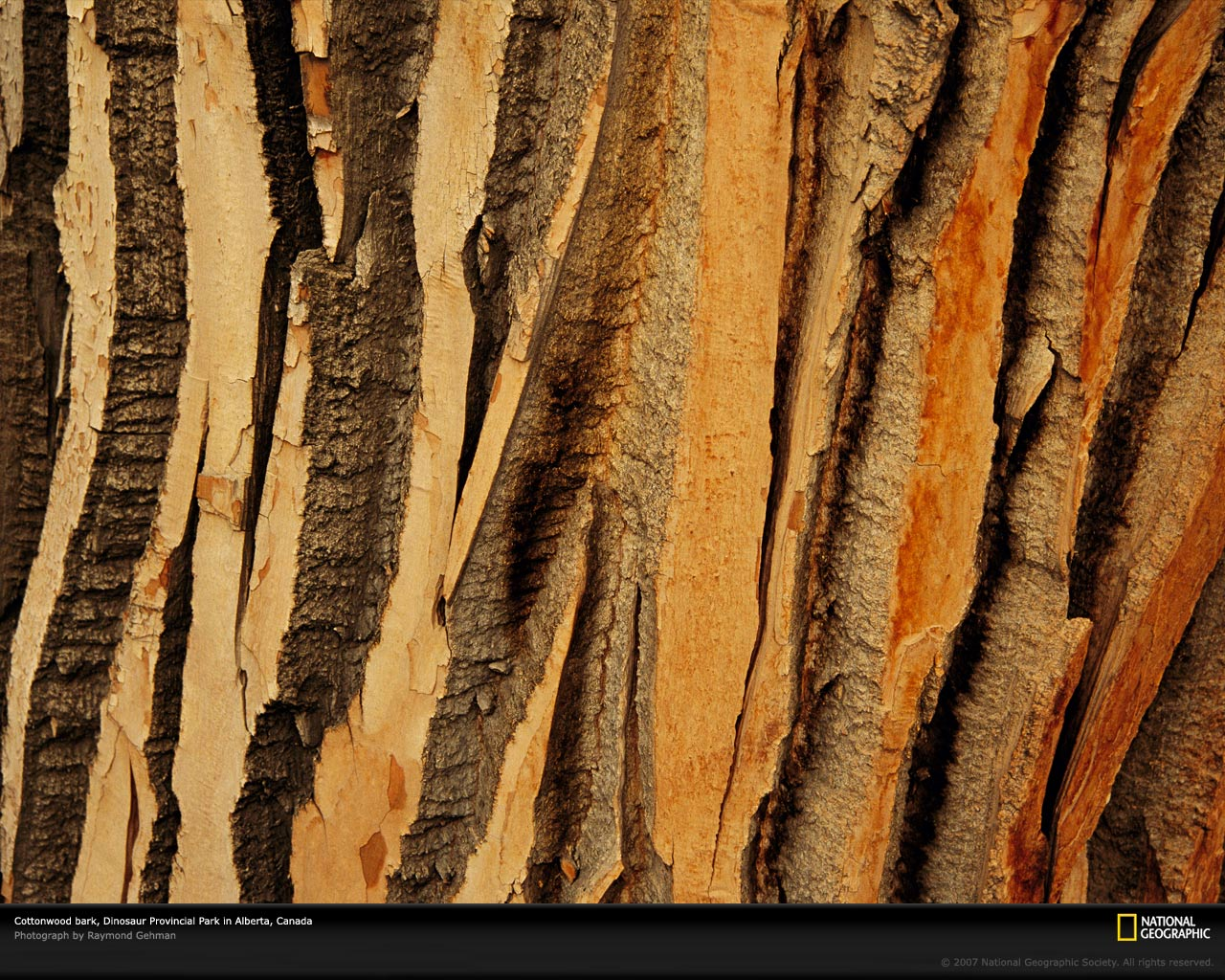 Cottonwood Trees Picture Tree Bark Wallpaper Photos    National 1280x1024